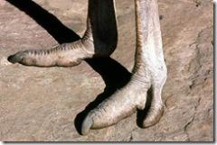 ostrich_feet