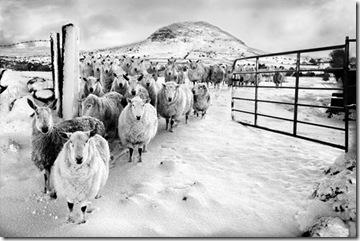02_Roy McKeown_Snowy Sheep